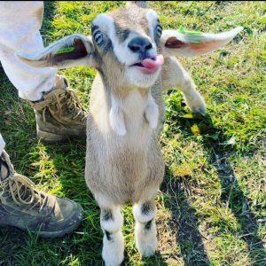 Goat Bottle Feeding Experience